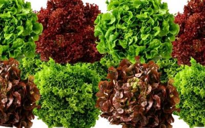 Lettuce and its benefits